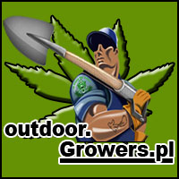 uprawa, hodowla, outdoor, na dworze, marihuany, konopi, cannabis