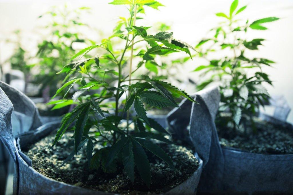 Przesadzanie Marihuany Z Doniczki Do Gleby Uprawa Outdoor